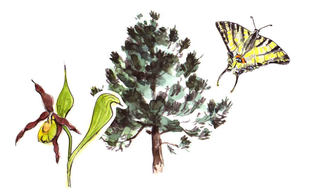 Auen und Föhrenwald mit Frauenschuh und Schmetterling