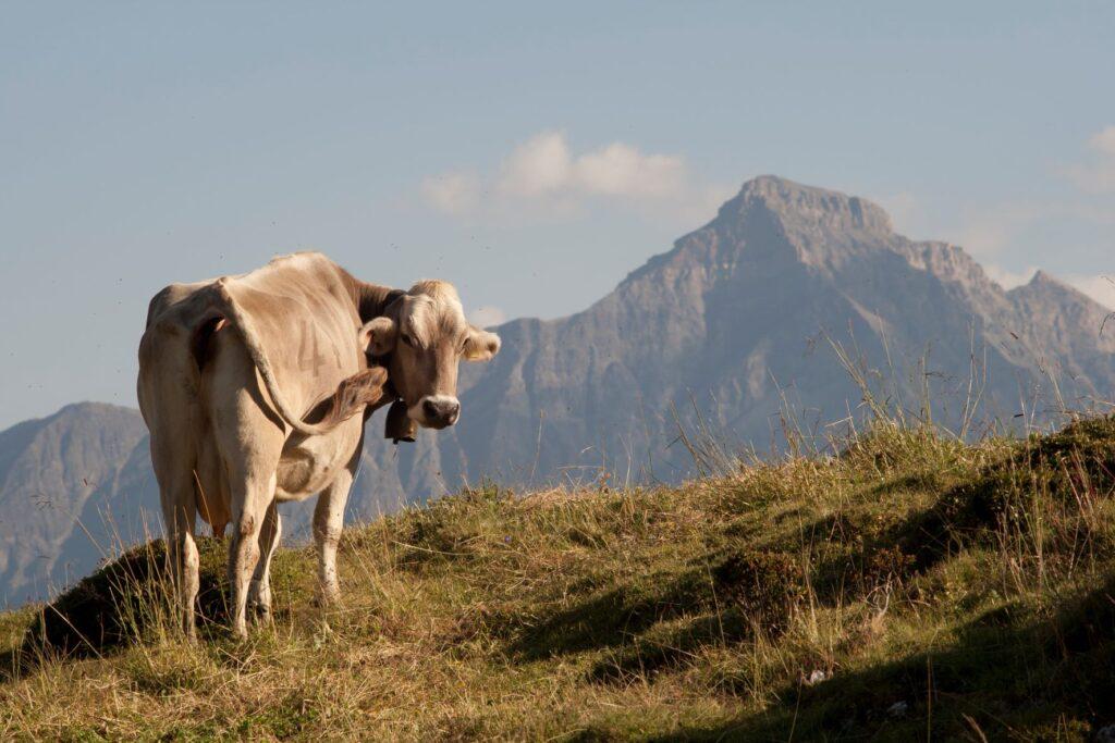 Kuh vor Beverin